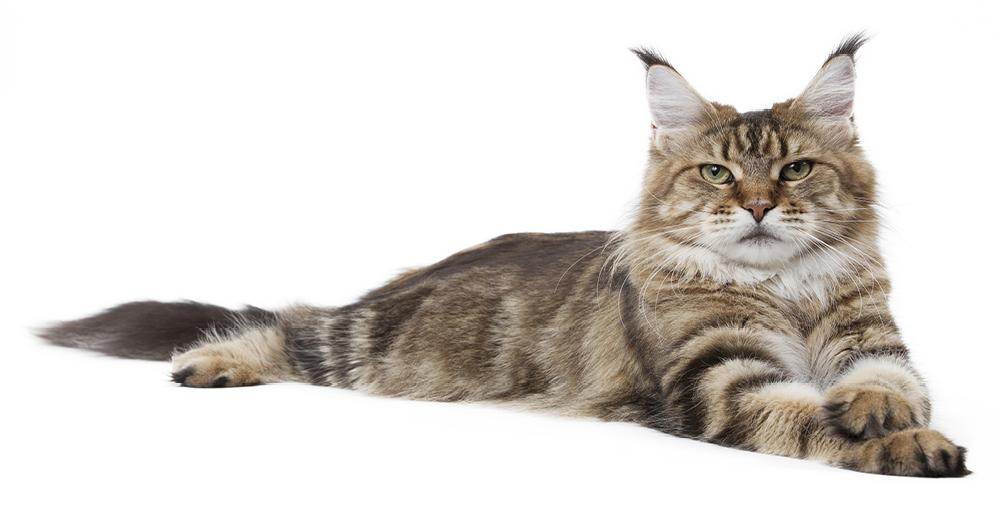 velká kočička vedios